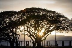 Arbre de Monkeypod sur le rivage du nord de l'île d'Oahu Image libre de droits