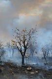 Arbre de Mopani au milieu des cendres Photos stock