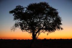 Arbre de Namib pendant le coucher du soleil Images libres de droits