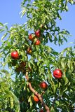 Arbre de nectarine complètement de fruit rouge mûr un après-midi ensoleillé image stock