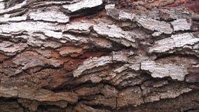Arbre de Neem indica d'Azadirachta écorce en bois de 25 ans Photos libres de droits