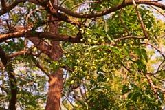 Arbre de Neem ou lilas indien, utilisation d'extrait de fruit comme insecticide photos libres de droits
