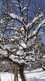 Arbre de neige sur le ciel bleu ensoleillé Images libres de droits