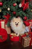 Arbre de Noël avec les cadeaux et le Spitz Image libre de droits