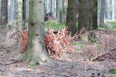 Arbre de Noël utilisé vidé dans la forêt Photos stock