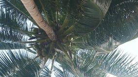 Arbre de noix de coco avec beaucoup de grandes noix de coco clips vidéos