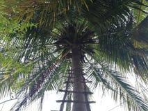 Arbre de noix de coco avec l'échelle images stock