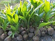 Arbre de noix de coco en Thaïlande photo stock