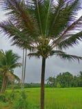 Arbre de noix de coco en Thaïlande images libres de droits