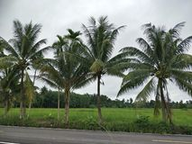 Arbre de noix de coco en Thaïlande photos stock