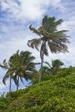 Arbre de noix de coco à la plage de Porto de Galinhas Photos stock