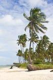 Arbre de noix de coco à la plage de Porto de Galinhas Image stock
