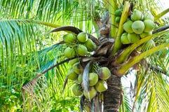 Arbre de noix de coco Images stock