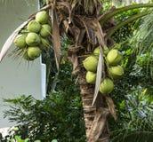 Arbre de noix de coco photo libre de droits