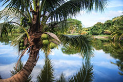 Arbre de noix de coco Images libres de droits