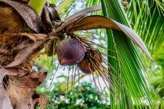 Arbre de noix de coco Image libre de droits