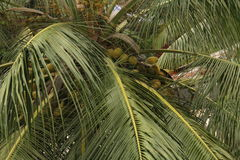 Arbre de noix de coco Photographie stock