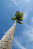 Arbre de noix de coco avec le ciel bleu Image stock