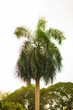 Arbre de noix de coco avec le ciel clair image libre de droits