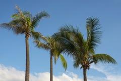 Arbre de noix de coco dans le ciel Image libre de droits