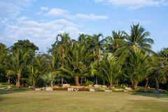 Arbre de noix de coco dans le jardin Photo libre de droits