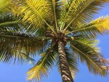 Arbre de noix de coco dans Vinhedo Images stock
