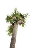 Arbre de noix de coco de paume sur le tir d'angle faible, fond blanc d'isolement Image libre de droits