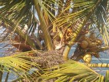 Arbre de noix de coco de roi et le nid de jabot Photographie stock