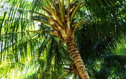 Arbre de noix de coco doux Photos libres de droits