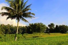 Arbre de noix de coco et rizière Photos libres de droits