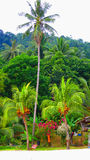Arbre de noix de coco grand dans des îles de Perhentian Images stock