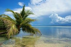 Arbre de noix de coco se penchant au-dessus de la mer des Caraïbes Image libre de droits