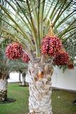 Arbre de noix de palme Images stock