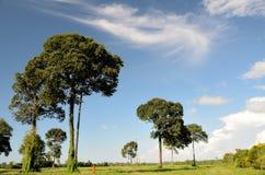 Arbre de noix du brésil Image libre de droits
