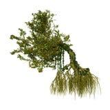 arbre de palétuvier du rendu 3D sur le blanc Images stock