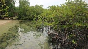 Arbre de palétuvier en plage, paysage vert Photo stock