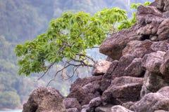 Arbre de palétuvier sur le roc d'émiettage Photos stock