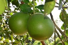 Arbre de pamplemousse avec le plan rapproché de fruits Image libre de droits