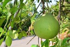 Arbre de pamplemousse avec le plan rapproché de fruits Photos libres de droits