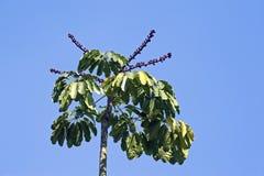 Arbre de parapluie du Queensland ou arbre de poulpe Photographie stock