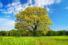 Arbre de paysage d'été grand avec les feuilles colorées sur un pré vert un après-midi ensoleillé lumineux Photos stock