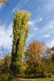 Arbre de peuplier d'automne Photographie stock