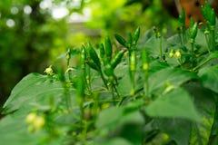 Arbre de piments avec les piments verts photographie stock libre de droits