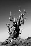 Arbre de pin Photo libre de droits