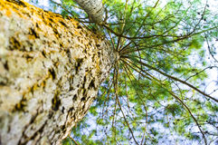 Arbre de pin Photographie stock