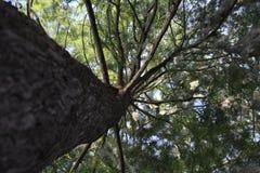 Arbre de pin images libres de droits
