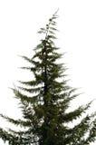 arbre de pin Image stock