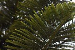 Arbre de pin Photos libres de droits