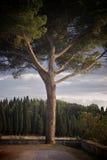 arbre de pin Photographie stock libre de droits