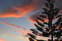Arbre de pin au coucher du soleil Photo stock